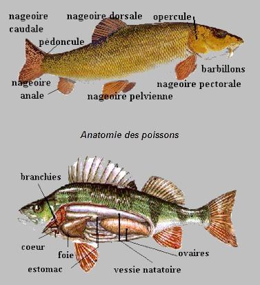 Anatomie des Poissons