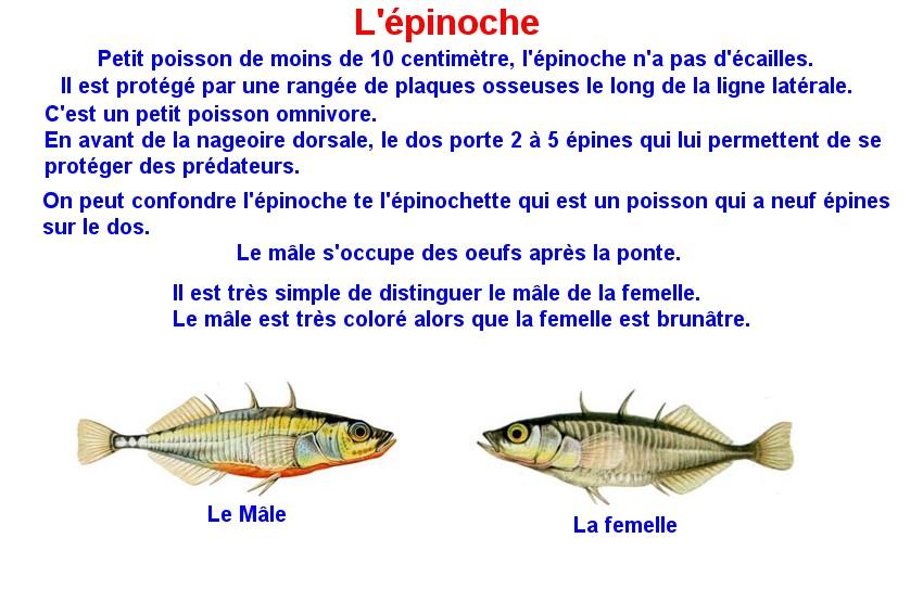 Quelques poissons d'eau douce  (13)