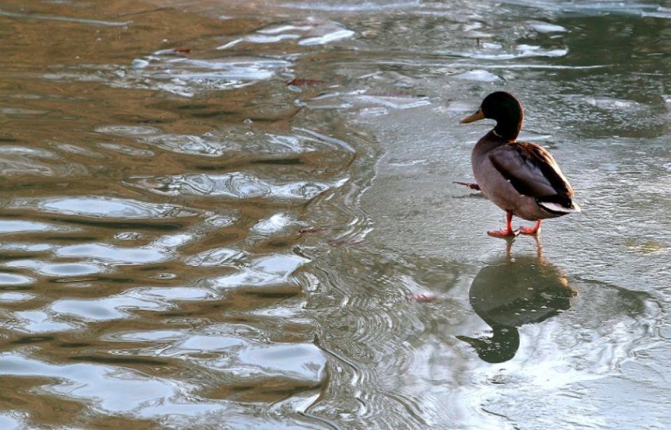 1064928 un canard marche sur une portion gelee de la velse a reims dans la marne le 18 janvier 2017