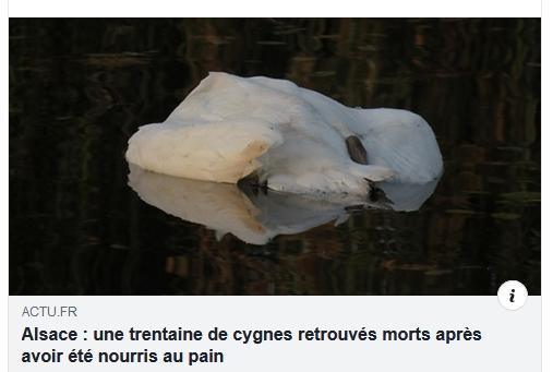 Alsace : une trentaine de cygnes retrouvés morts après avoir été nourris au pain